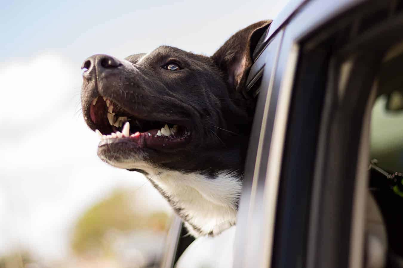 Dog putting its head out of a car window