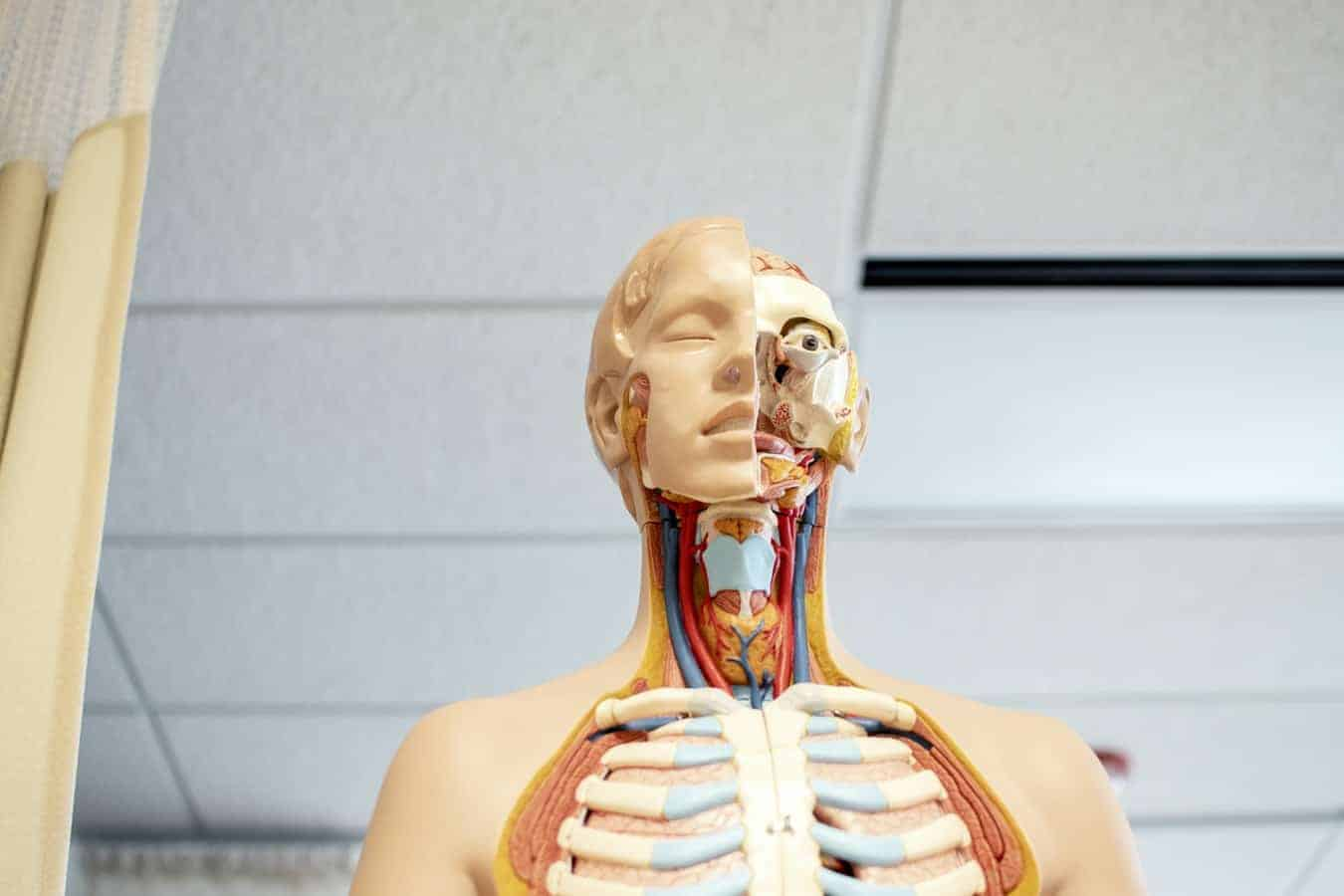 A science model showing the human anatomy