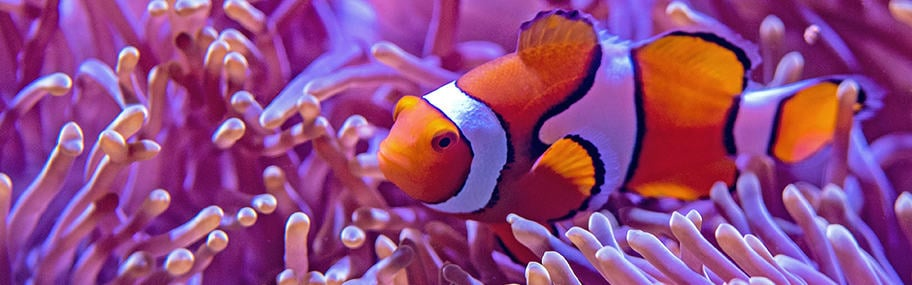 Healthy clown fish swimming in water